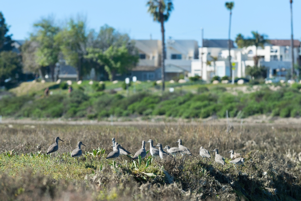 A line of shorebirds in wetland vegetation with a row of houses in the background