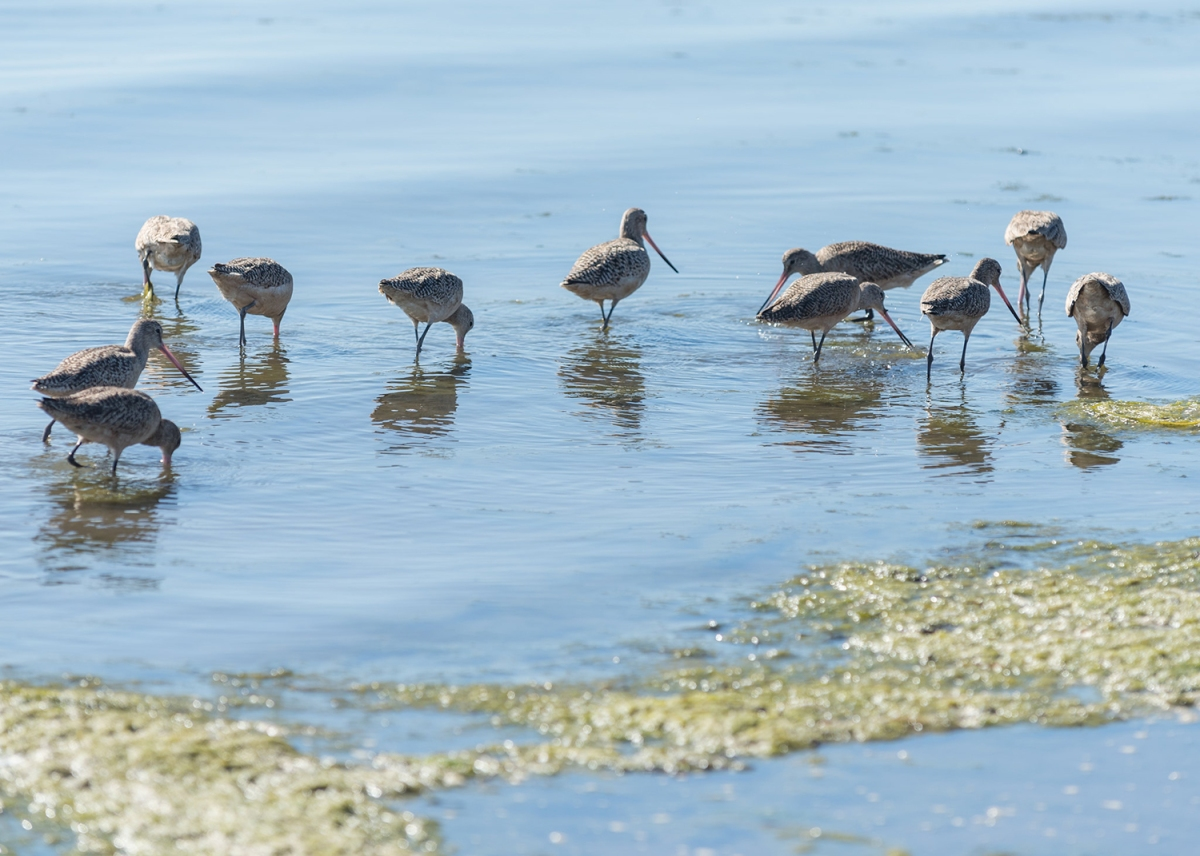 A group of shorebirds foraging in shallow water