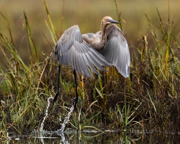 Reddish egret taking flight in wetlands.